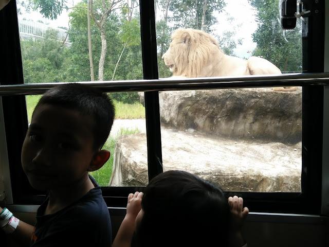 Gambar anak saya di dalam TRAM di dalam Kandang Singa
