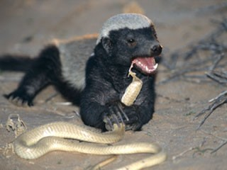 thekongblog world s meanest animal the honey badger pound for
