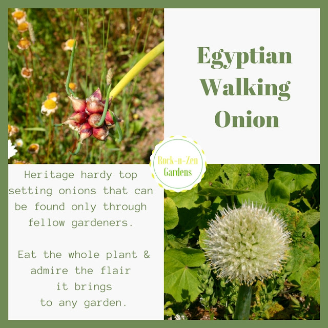 Walking Egyptian Onions