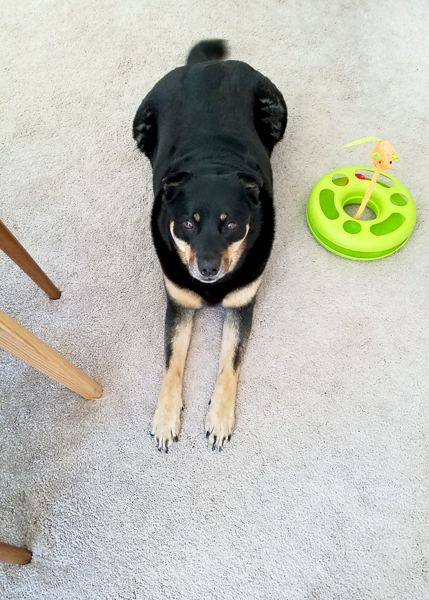 image of Zelda the Black and Tan Mutt lying on the dining room floor, next to a bright green cat toy