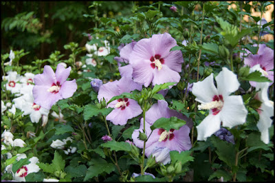 Rose of Sharon (Hibiscus syriacus), St Francis Cottage Chattanooga Tennessee