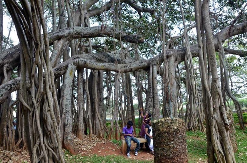 Thimmamma Marrimanu, Kadiri forest reserve Anantapuram, biggest banyan tree, fig tree india, largest banyan tree in the world, biggest banyan tree, tree canopy