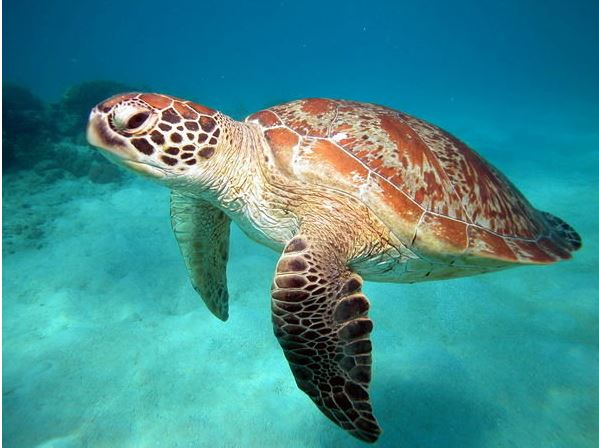Leatherback sea turtle pictures in the water - photo#54