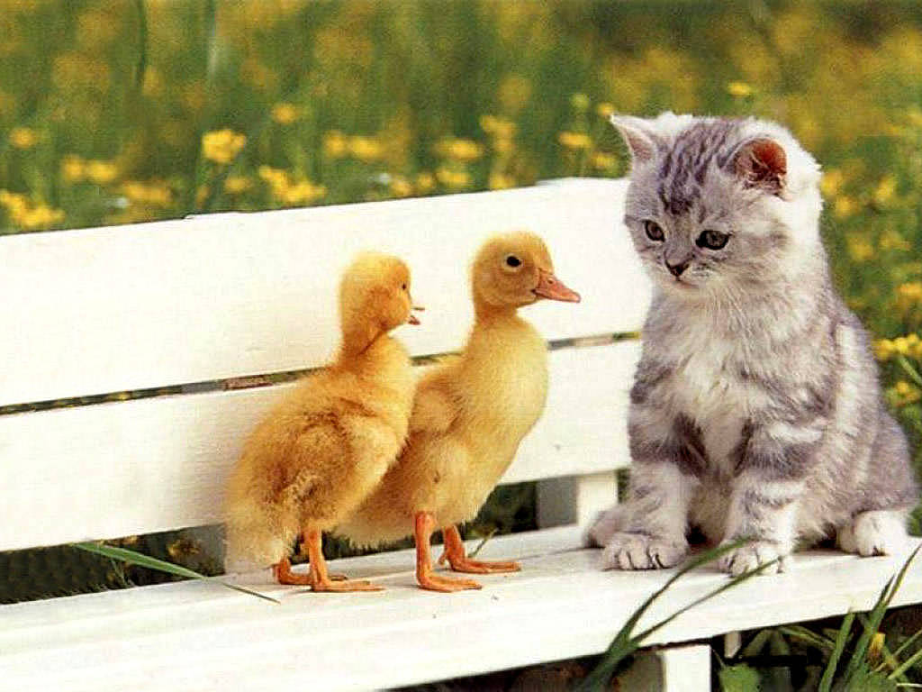 https://4.bp.blogspot.com/-K6oMcE8adTQ/TrHMPu_hvLI/AAAAAAAAA6Q/OqgAsMecy4w/s1600/Kitten+with+ducks+pets.jpg