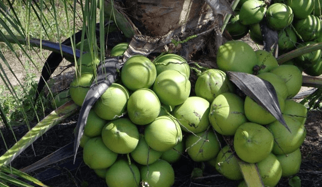 Salvador sediará a primeira edição da Convenção Nacional dos Produtores de Coco