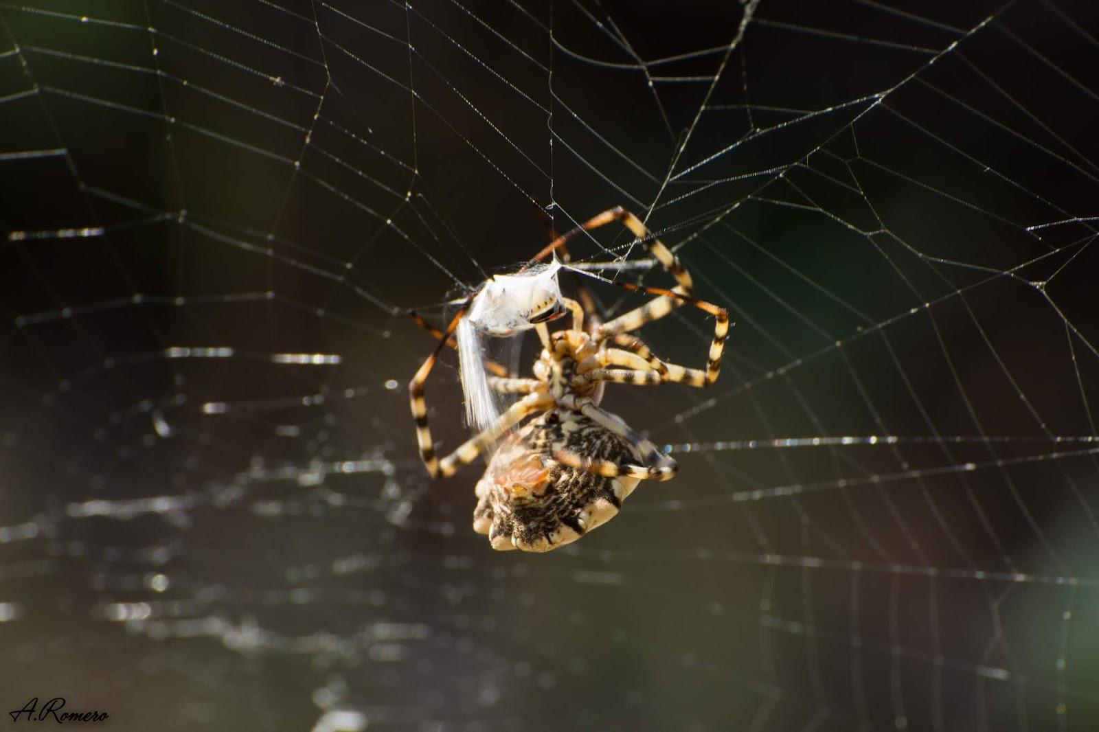 envuelve rápidamente a un pequeño coleóptero escasos segundos después de que éste chocase con la telaraña. Cuando el veneno inyectado haga su trabajo, la araña succionará los nutrientes predigeridos dentro de la presa.