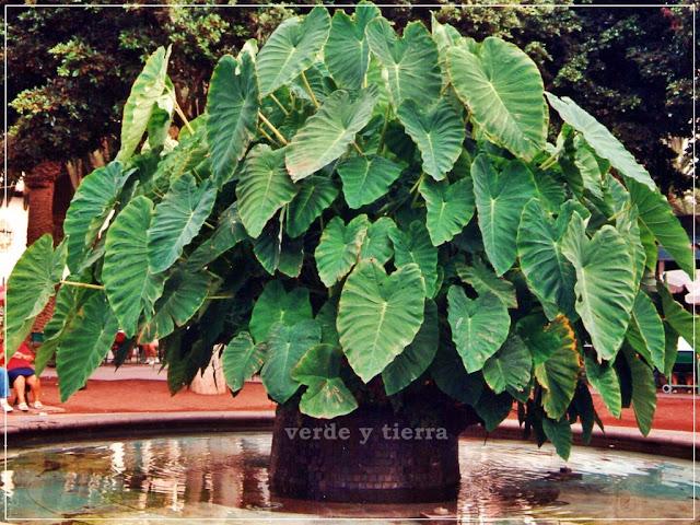 Verde Y Tierra Alocasia - Plantas-verdes-exterior