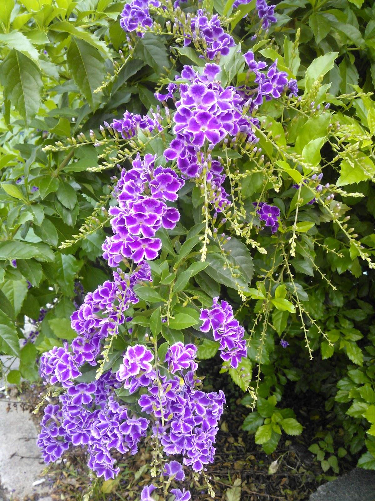 DWAN雲之端: 蕾絲金露花--英文名稱: Lace Golden Dewdrops,Purple Skyflower.;有別於金露花 ...