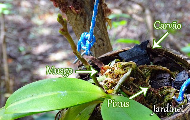 Como cultivar mini phalaenopsis na casca do coco