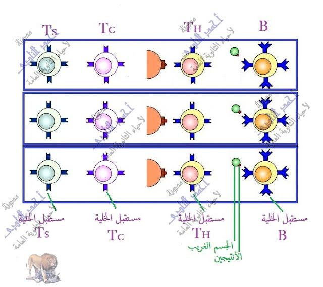تركيب الجهاز المناعى - الخلايا الليمفاوية - البائية - التائية - القاتلة الطبيعية