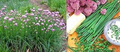 cultivo de cebollinos