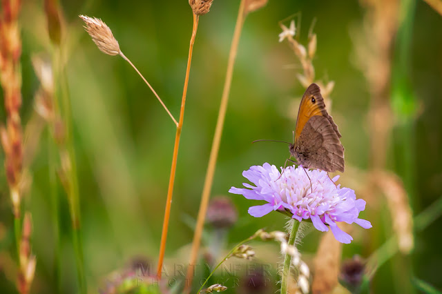 Beautiful colours of a meadow brown on a lilac field scabious at Barnack Hills & Holes