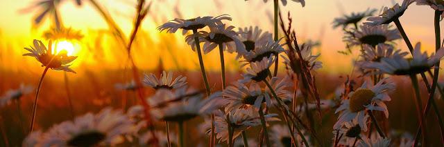 أغــلفة متنوعة ورائعة للفيس بووك ..2015 White-Daisies-Filed-