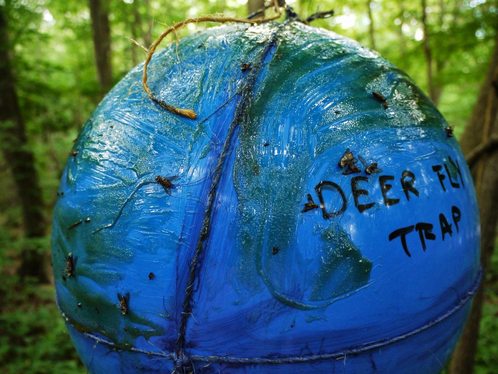Deer fly - photo#33