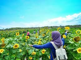 Lokasi Kebun Bunga Matahari Bantul Jogjakarta