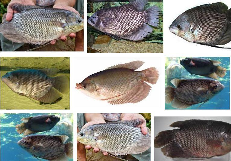 Prospek Bisnis Ikan Gurami