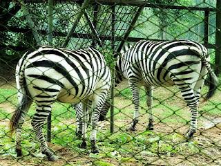 Cercado das zebras no Parque Zoológico de Sapucaia