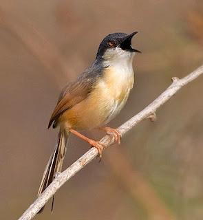 Dengarkan Suara Burung 5 Jenis Ciblek Mancanegara