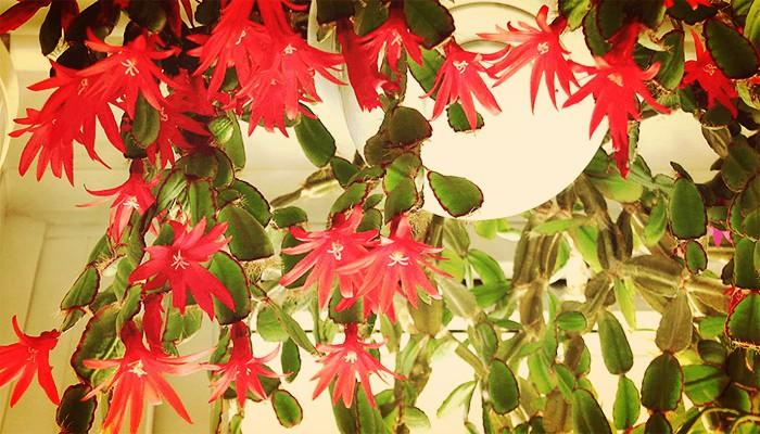 Cactus de pascua