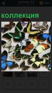 На столе находится удивительная коллекция  самых разнообразных бабочек