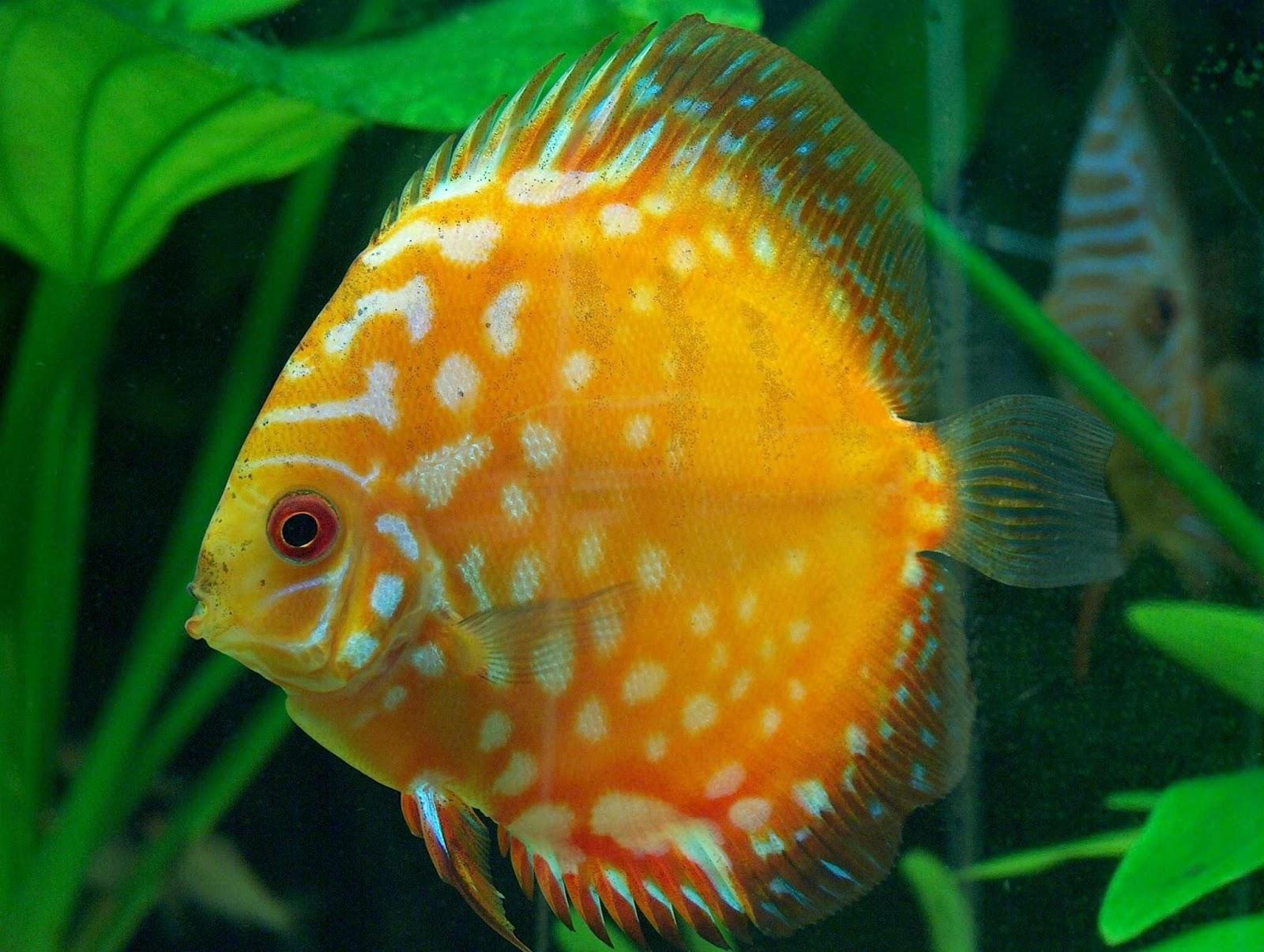 LIFE UNDER THE SEA: DISCUS FISH