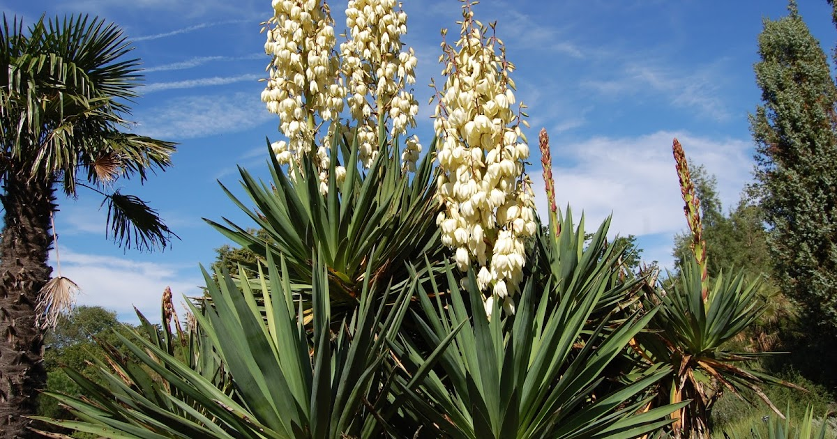 what is a yucca plant the garden of eaden. Black Bedroom Furniture Sets. Home Design Ideas