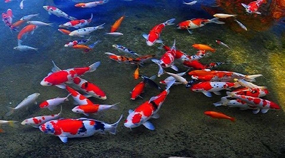 Agosto 2011 mundo koi for Estanques de peces ornamentales