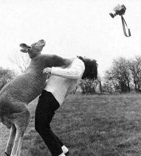 Canguro atacando