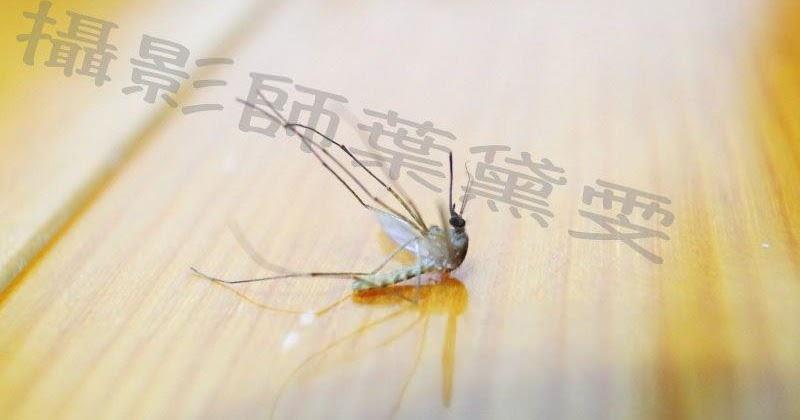 原來「蚊子」喜歡在耳邊嗡嗡叫的原因是這樣...!這招學起來蚊子三分鐘就直接昏了!簡單又3000%見效!
