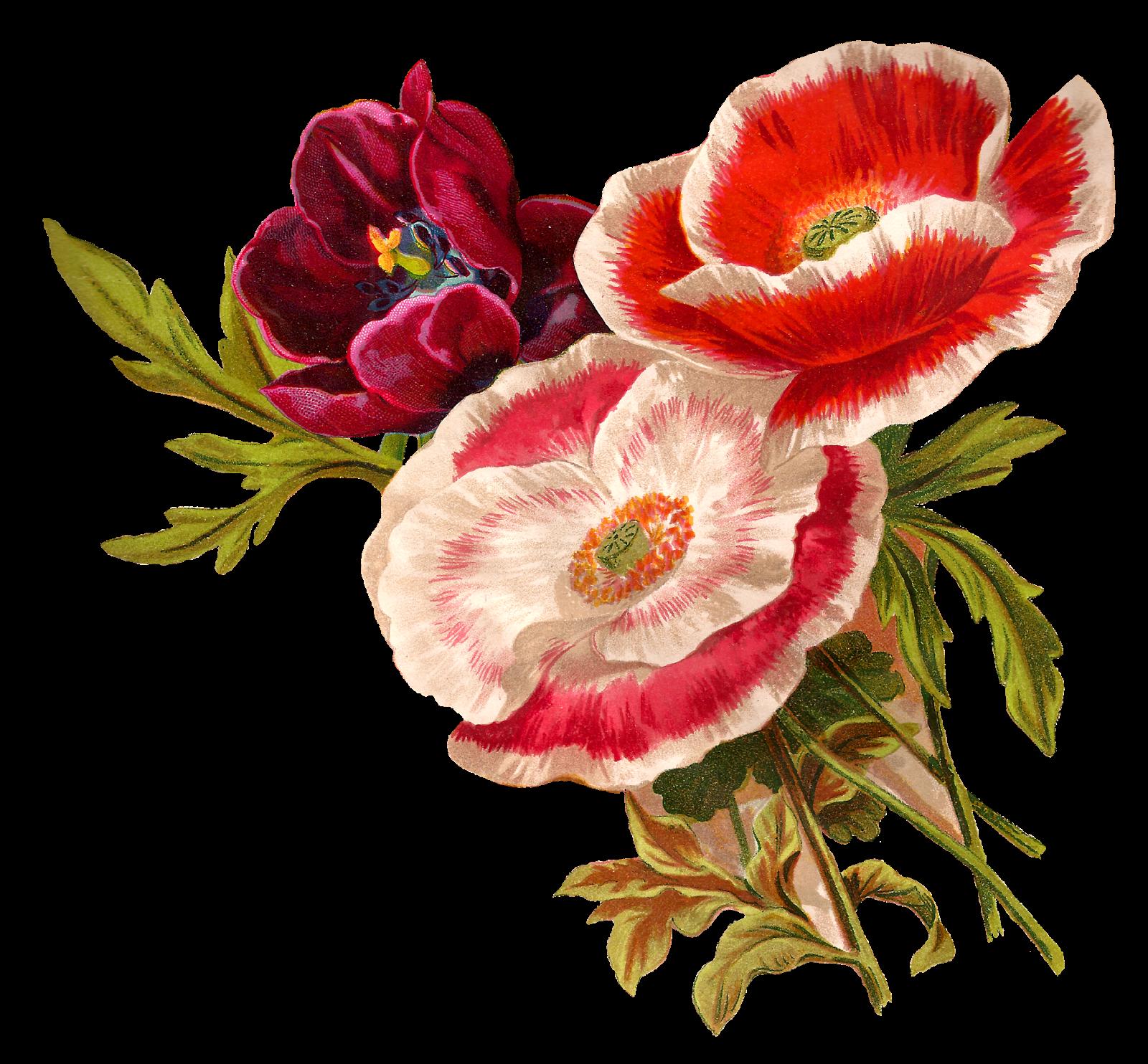 Antique Vintage Poppy Flower Clip Art Botanical Artwork Wildflower Il