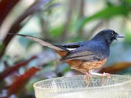 murai www.burung45.blogspot.com