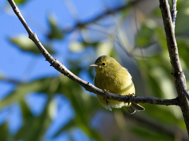 Orange-crowned Warbler sordida