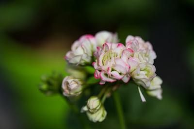 mit Strich und Faden: Pelargonium Appleblossom