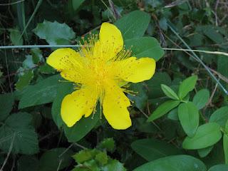 Hypericum calycinum, Castle Rock State Park, Los Gatos, California