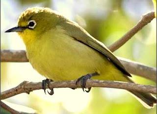 pleci gunung www.burung45.blogspot.com