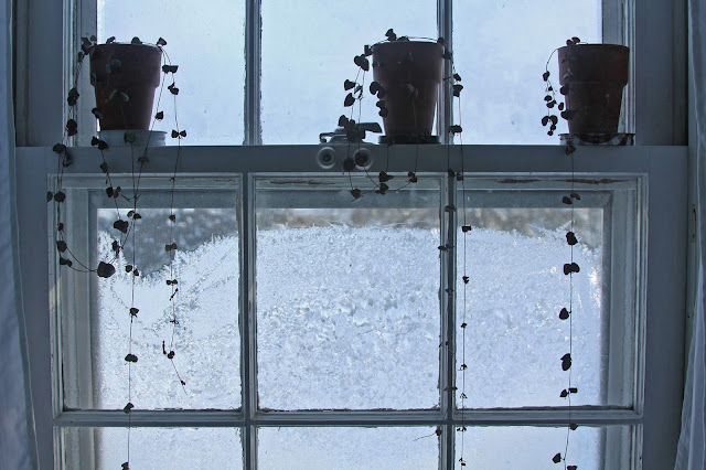 houseplants, string of hearts, succulents, winter, frosted windows, ice, frost, hearts