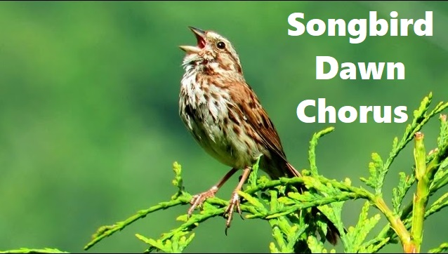 Song Bird Dawn Chorus -  A Bird Symphony!