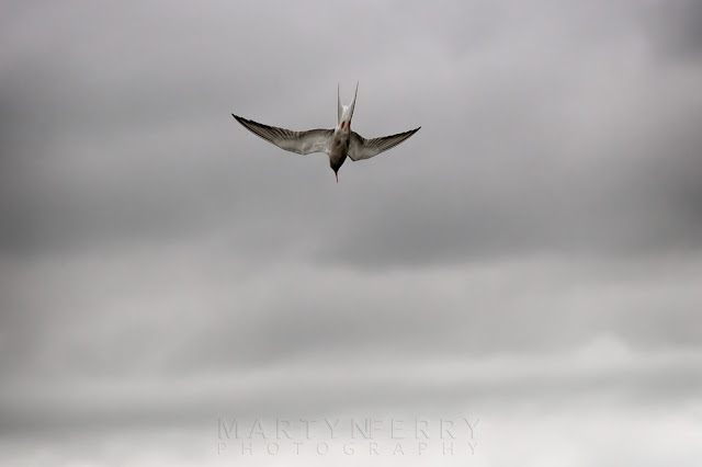 Swooping down to the water a Common tern dives for fish