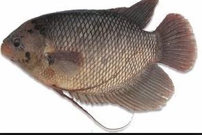 ikan gurame menjadi ikan konsumsi terfavorit lantaran rasanya  Kabar Terbaru- BUDIDAYA IKAN GURAME