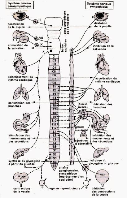 anatomie système nerveux sympathique parasympathique infirmier