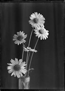 Stillleben Margeriten, Glasnegativ 1930-1942