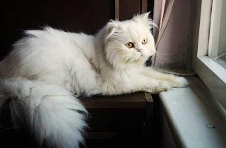 deskripsi kucing putih bahasa Inggris