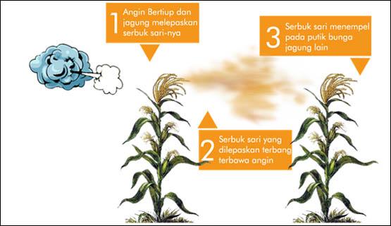 contoh alogami pada tanaman jagung