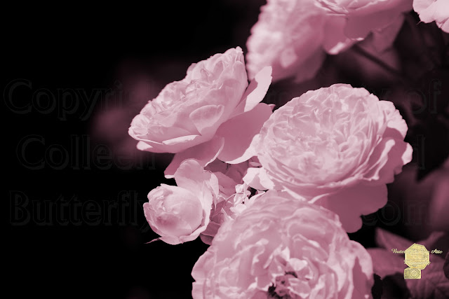 Peacock Pink Cabbage Roses On Black Fine Art Photograph