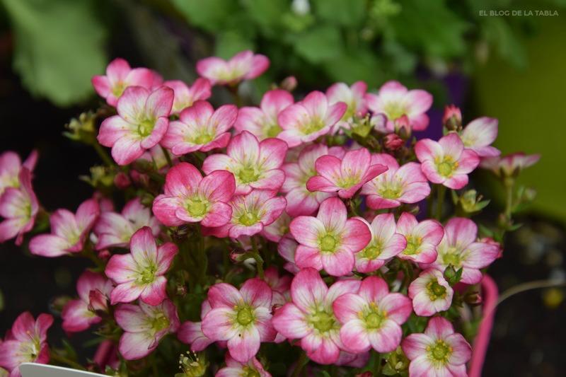 Saxifraga × arendsii plantas-vivaces