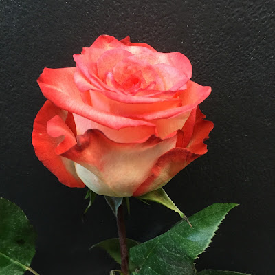 Orange Rose at Stein Your Florist Co.