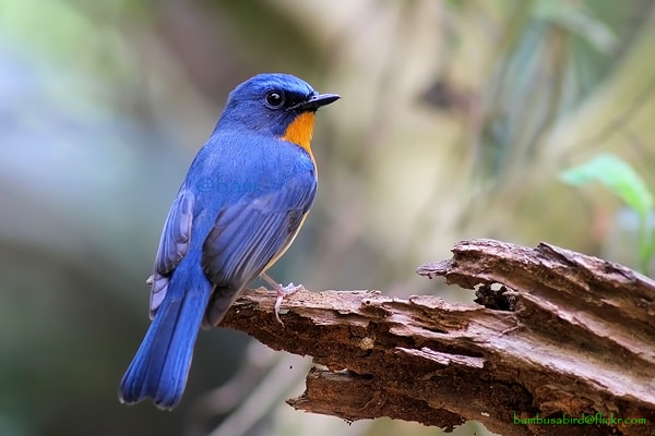 Danum Hill Blue Flycatcher