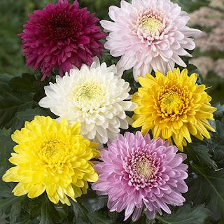 bunga-krisan2