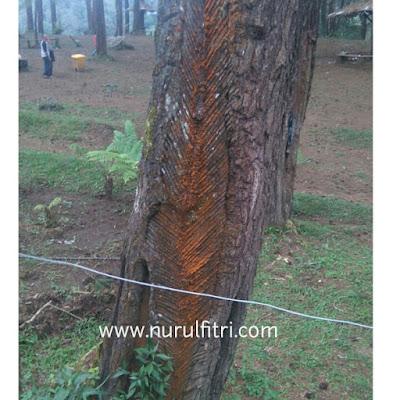 Flora di Hutan Pinus Cikole Lembang Bandung