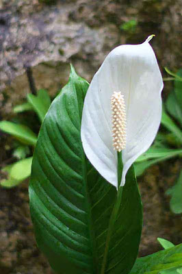 Peace Lily outdoors, flower and leaf